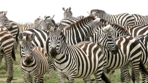 It's Now Black and White ? Common Zebra, Africa