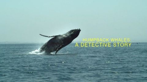 Humpback Whales: A Detective Story