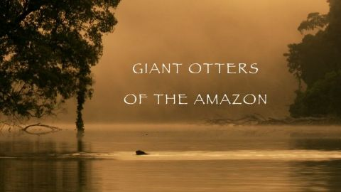 Giant Otters of the Amazon