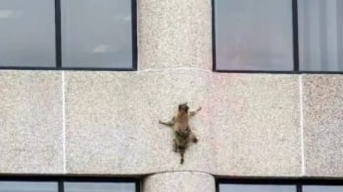 Skyscraper Raccoon