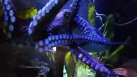 Octopus Houdini