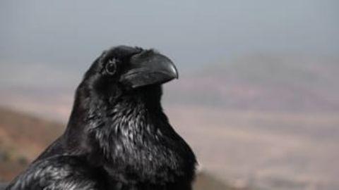 Crow Crime Scene