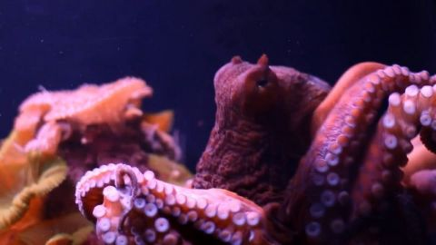 Octopus Throwdown