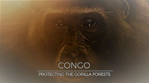 Congo: Protecting the Gorilla Forests