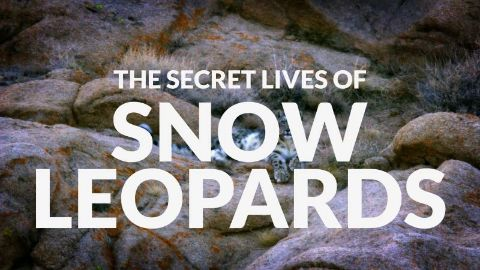 The Secret Lives of Snow Leopards