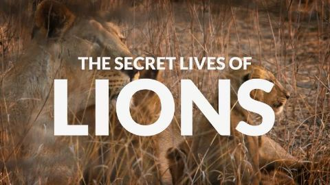 The Secret Lives of Lions