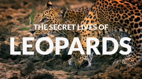The Secret Lives of Leopards