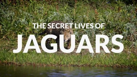 The Secret Lives of Jaguars