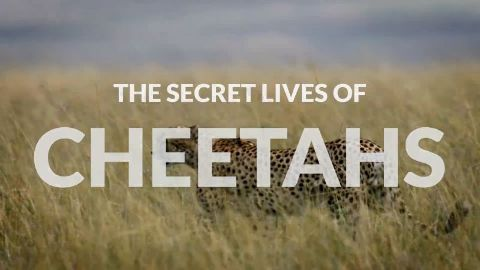 The Secret Lives of Cheetahs