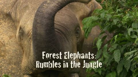 Forest Elephants: Rumbles in the Jungle