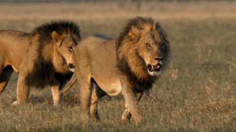 Return of the Giant Killers: Africa's Lion Kings