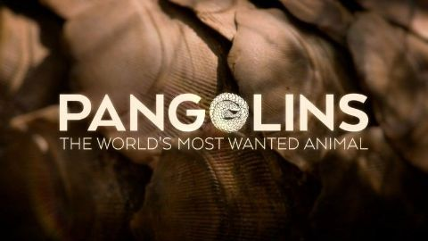 Pangolins: The World's Most Wanted Animal