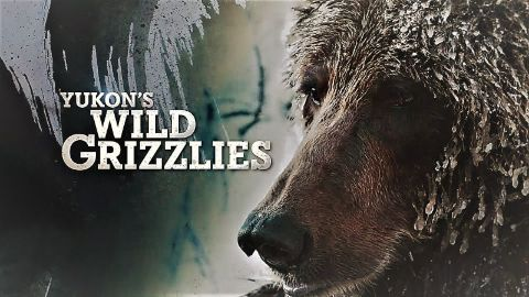 Yukon's Wild Grizzlies