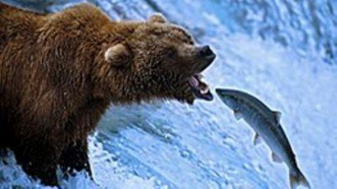 The Great Salmon Run