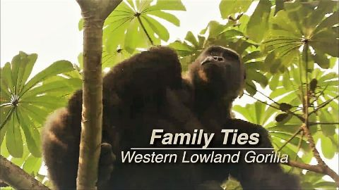 The Western Lowland Gorilla