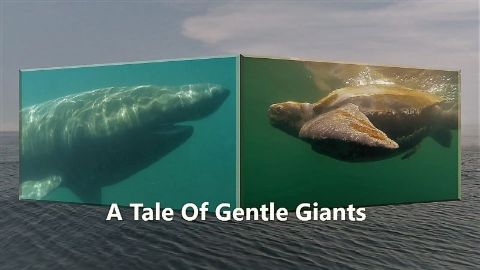A Tale of Gentle Giants