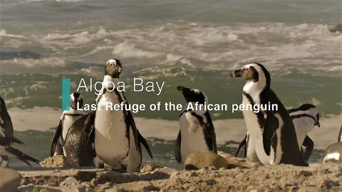 Algoa Bay: Last Refuge of the African Penguin