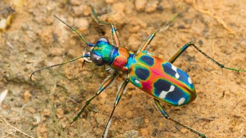 Tiny Terror — Japanese Tiger Beetle, Japan
