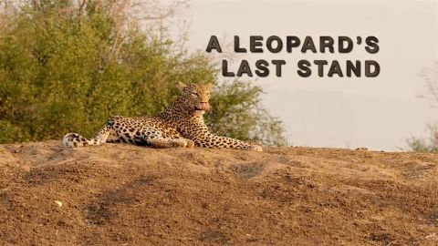A Leopard's Last Stand