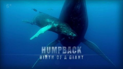 Humpback Whale: Birth of a Giant